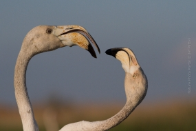 Wildlife_Photography-Nature_Photo_Portal-Jef_Pattyn-Flamingo-camargue-fight-1