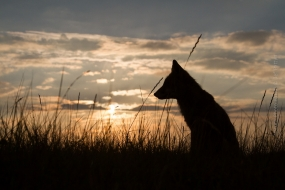 Wildlife_Photography-Nature_Photo_Portal-Jef_Pattyn-fox-sunset-1