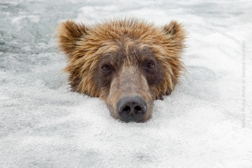 Sergey_Gorshkov-Nature_Photo_Portal-Nature_Talks_Photo_Festival-Bear_01117-14.40.52