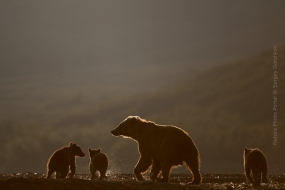 Sergey_Gorshkov-Nature_Photo_Portal-Nature_Talks_Photo_Festival-Bear_04751-14.40.52