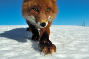 Sergey_Gorshkov-Nature_Photo_Portal-Nature_Talks_Photo_Festival-Fox_0093-14.40.52