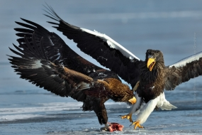 Sergey_Gorshkov-Nature_Photo_Portal-Nature_Talks_Photo_Festival-Stellers-sea-eagle_0692-14.40.52