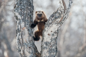 Sergey_Gorshkov-Nature_Photo_Portal-Nature_Talks_Photo_Festival-Wolverine_0293-14.40.52