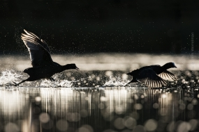 Wildlife_Photography-Nature_Photo_Portal-Wim_Werrelman-Bird_Photography-Coot_chase-3