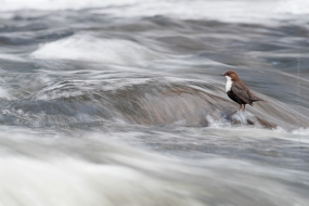 Wildlife_Photography-Nature_Photo_Portal-Wim_Werrelman-Bird_Photography-Dipper_in_stream-3