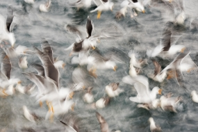 Wildlife_Photography-Nature_Photo_Portal-Wim_Werrelman-Bird_Photography-Gull_soup-3