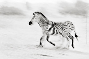 Wildlife_Photography-Nature_Photo_Portal-Wim_Werrelman-Wildlife_Photography-Two_Zebras-3