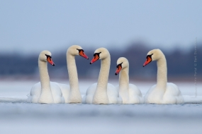 Bird_Photography-Nature_Photo_Portal-Bart-Stornebrink-Mute-Swan_Bird-2