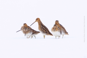 Bird_Photography-Nature_Photo_Portal-Bart-_Stornebrink-Common_snipe-2