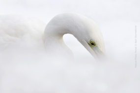 Bird_Photography-Nature_Photo_Portal_Bart_Stornebrink-Great-White-Egret-2