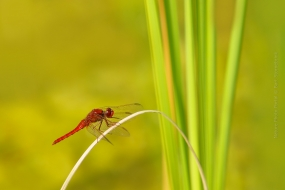 Macro_Photography-Nature_Photo_Portal-Bart_Stornebrink-Dragonfly-2