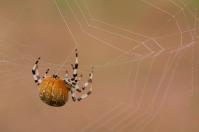 Macro_Photography-Nature_Photo_Portal-Bart_Stornebrink-Spider-2