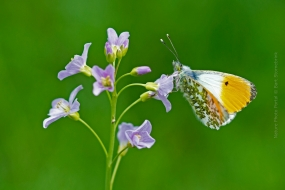 Macro_Photography-Nature_Photo_Portal-Bart_Stornebrink_Orange_tip_butterfly-2