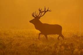 Wildlife_Photography-Nature_Photo_Portal-Bart_Stornebrink-Red_deer-2