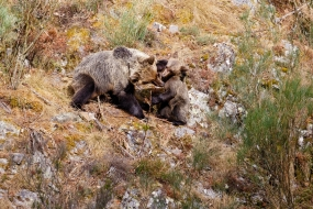 Wildlife Photography Nature Photo Portal Celso Alvarez Brown bear mother cub 2