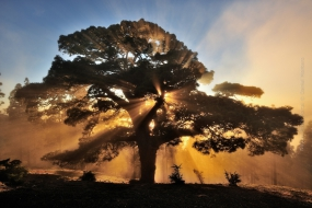 Nature_Photo_Portal_Daniel_Montero_-Canarian-Pine-tree