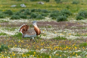 This male Great Bustard paraded along the mountain valley were the females appear