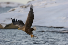 White-tailed Eagle (Haliaeetus albicilla) catches a fish whilst I'm standing in a small boat wich I rented at Ole Martin Dahle place in Norway
