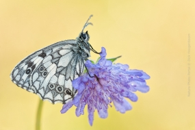 Early in the morning I found this butterfly, full with dew, on the Cornflower