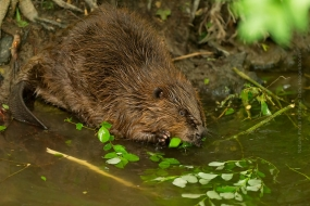 European beaver (Castor fiber) sitting and feeding on a branch at a riverbank
