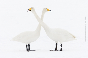Nature_Photo_Portal_Jan_Smit_Whooper_Swans