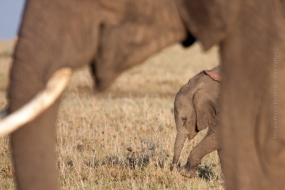Wildlife_Photography-Nature_Photo_Portal-Louis_Pattyn-Elephant-young-olifant-mammal-mammals-2