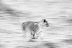 Wildlife_Photography-Nature_Photo_Portal-Louis_Pattyn-lion-cub-running-black_and_white-mammal-mammals-abstract-2