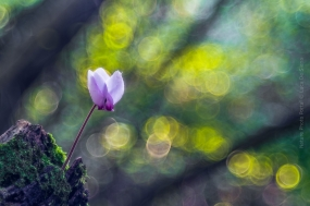Flower_Photography-Nature_Photo_Portal-Luca-De_Siena-Lanterns_in_the_woods-2