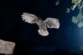 Nature_Photo_Portal_Marijn_Heuts_Little-Owl