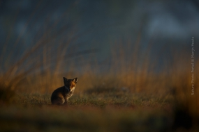 Nature_Photo_Portal_Marijn_Heuts_Red-Fox