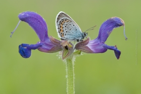 Silver-studded Blue (Plebeius argus) resting on Meadow Clary or Meadow Sage(Salvia pratensis)