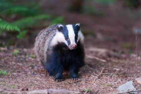 European Badger (Meles meles) young male watching in front of a hired hide