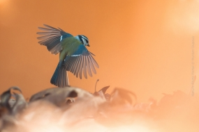 Bird_Photography-Nature_Photo_Portal-Myriam_Dupouy-Blue-Tit