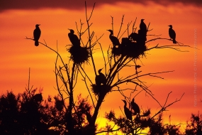 Bird_Photography-Nature_Photo_Portal-Philippos_Katsiyiannis-Sunset_cormorants-1