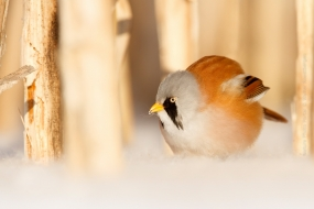 Baardman man in de sneeuw; bearded tit male in the snow;