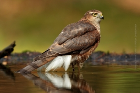Sperwer man in het water; Eurasian sparrowhawk in the water;