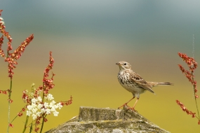Bird_Photography-Nature_Photo_Portal-Walter_Soestbergen-Meadow_Pipit-2