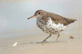 Bird_Photography-Nature_Photo_Portal-Walter_Soestbergen-Spotted_Sandpiper-2