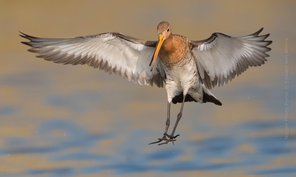 Bird_Photography-Nature_Photo_Portal-EdwardvanAltena-Black-tailed Godwit (2)
