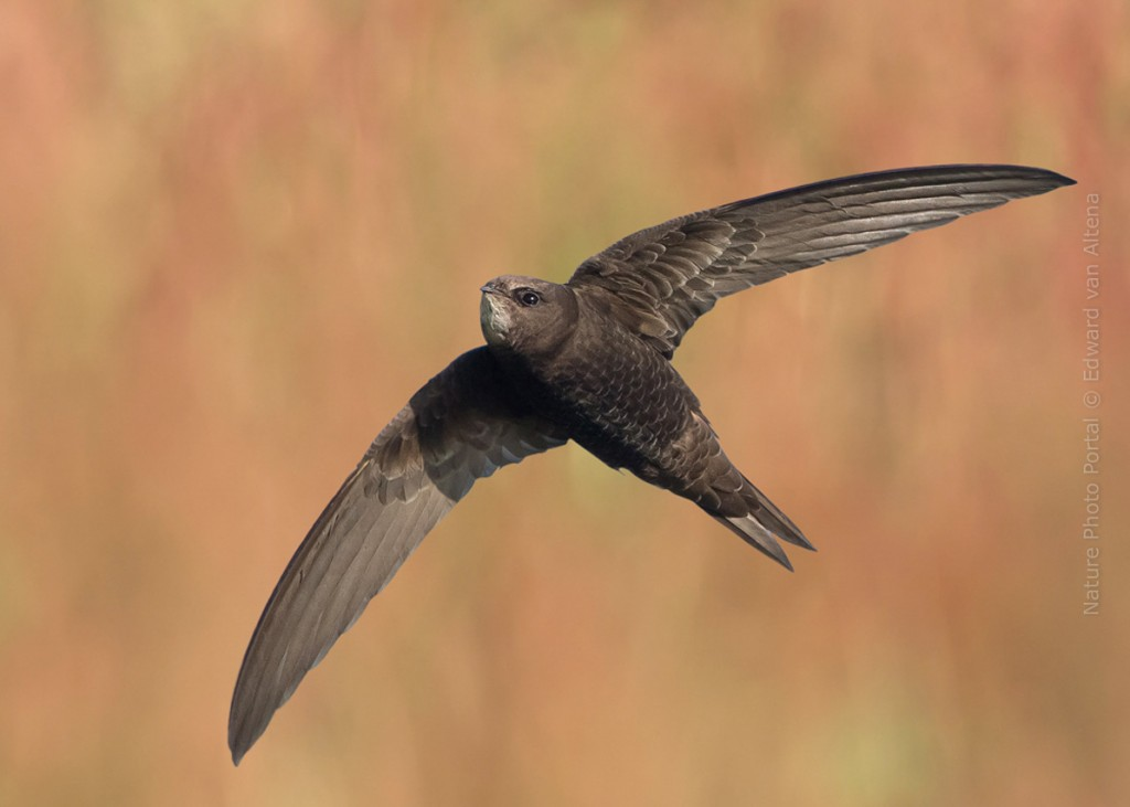 Bird_Photography-Nature_Photo_Portal-EdwardvanAltena-Common Swift