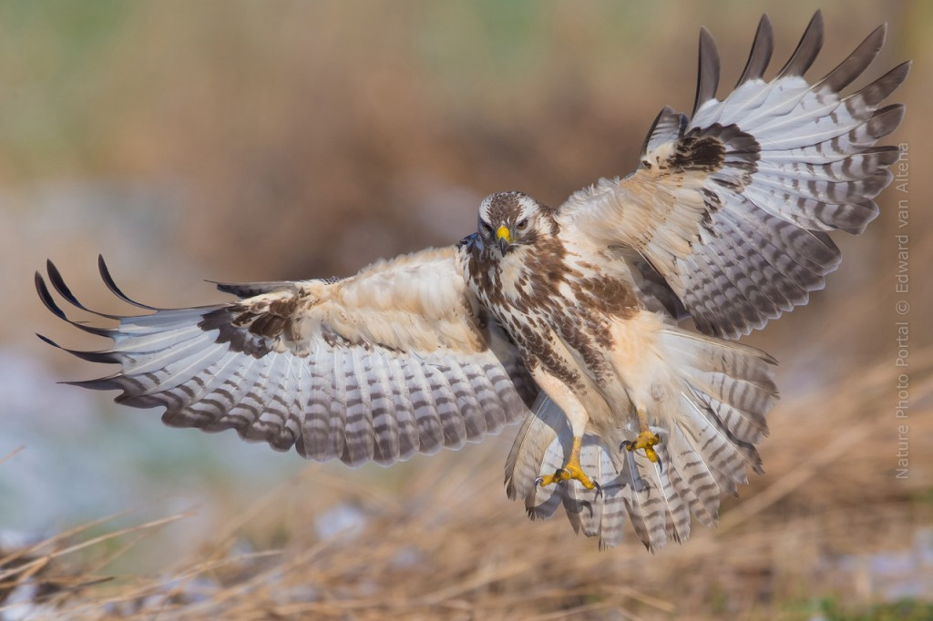 Bird_Photography-Nature_Photo_Portal-EdwardvanAltena-Common_Buzzerd-header2
