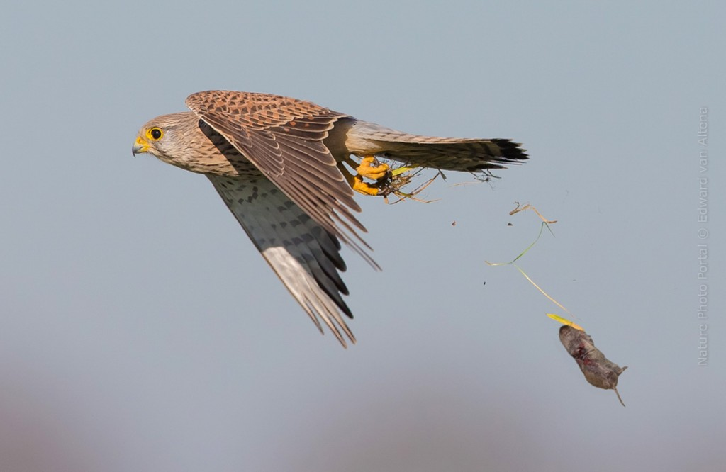 Bird_Photography-Nature_Photo_Portal-EdwardvanAltena-Common_Kestrel_1
