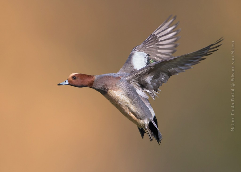 Bird_Photography-Nature_Photo_Portal-EdwardvanAltena-Eurasian Wigeon