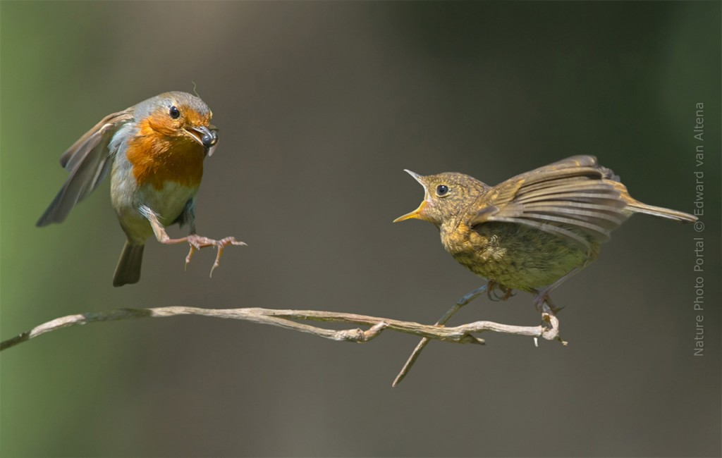 Bird_Photography-Nature_Photo_Portal-EdwardvanAltena-European_Robin