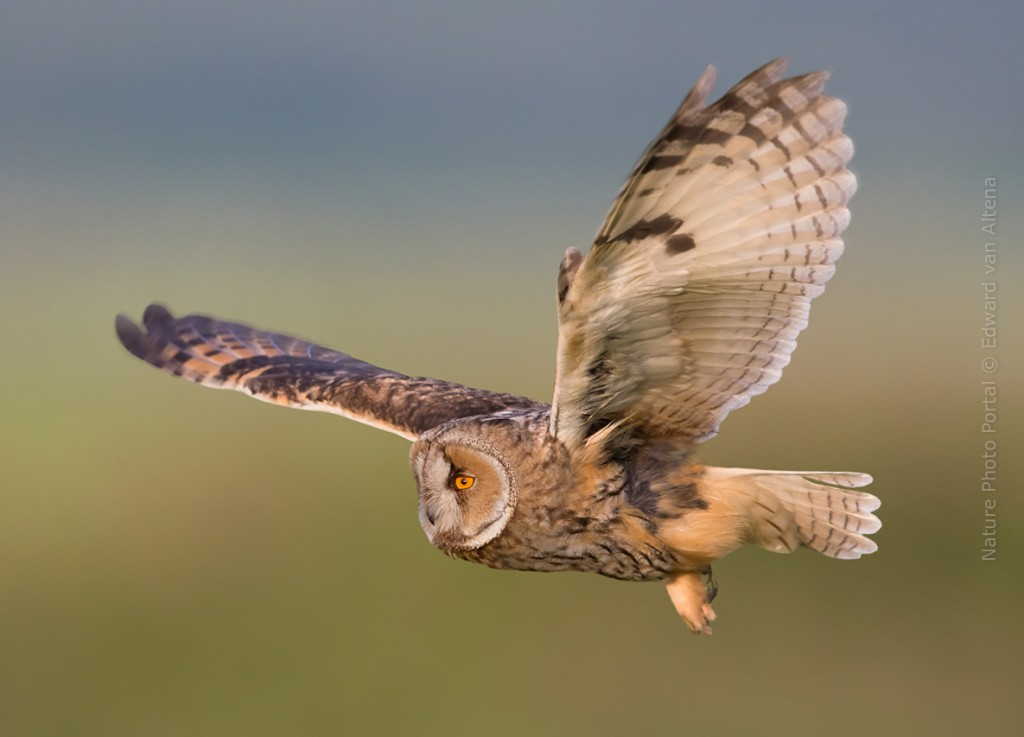 Bird_Photography-Nature_Photo_Portal-EdwardvanAltena-Long_Eared_Owl