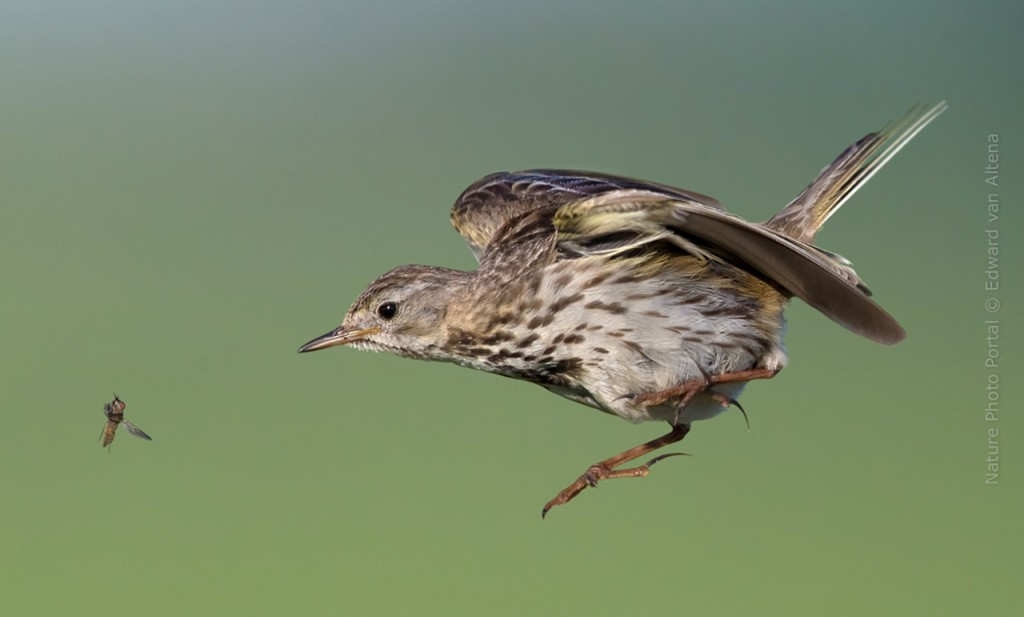 Bird_Photography-Nature_Photo_Portal-EdwardvanAltena-Meadow Pipit
