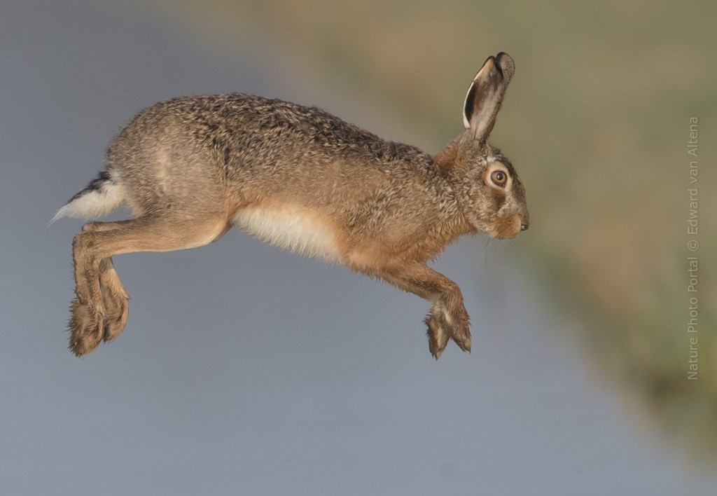 Wildlife_Photography-Nature_Photo_Portal-EdwardvanAltena-Hare