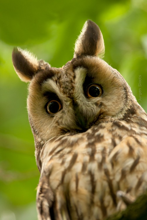 Bird_Photography-Nature_Photo_Portal-Jurgen_Sloots-Long_Eared_Owl
