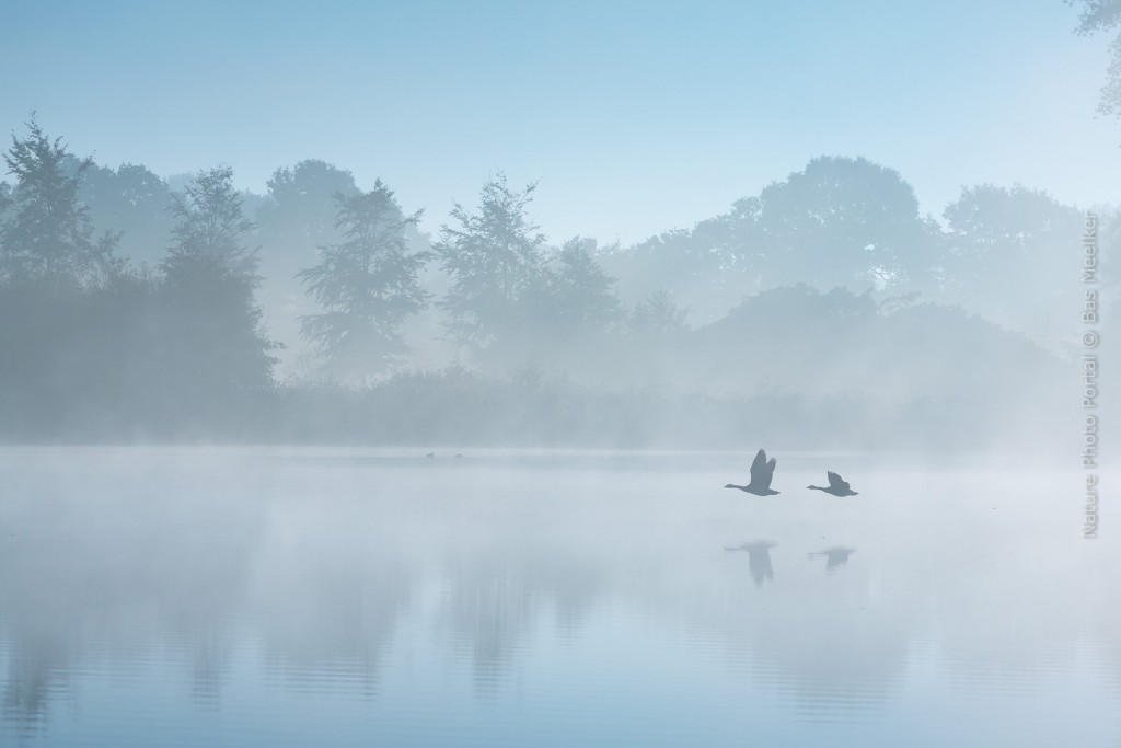 Two geese flying by on a foggy autumn morning reflecting their shadows on the water surface.