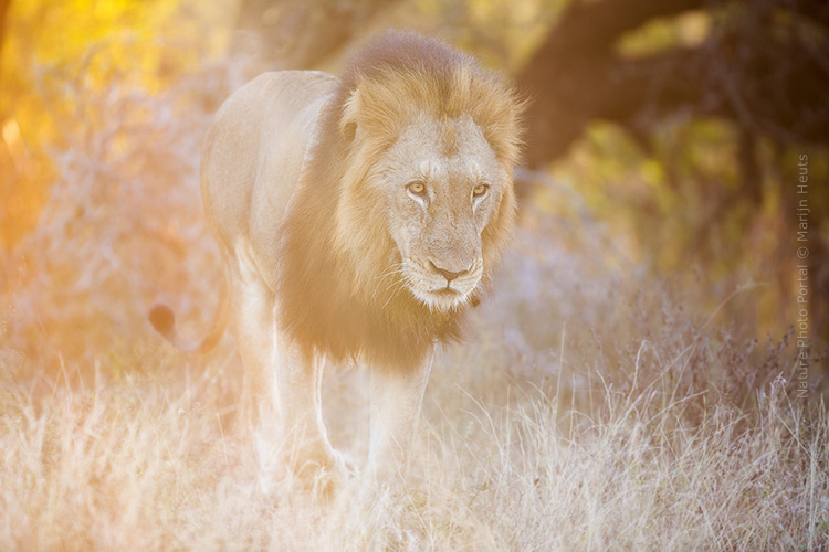 Wildlife_photography-Nature_Photo_Portal-Marijn_Heuts-Lion